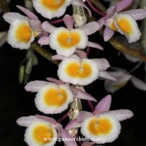 Dendrobium Primulinum Laos SS