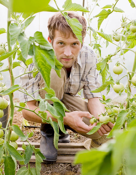 This i a Chef picking green tomatoes.