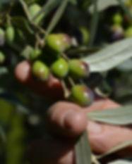 olive oil 20151024_1396.JPG