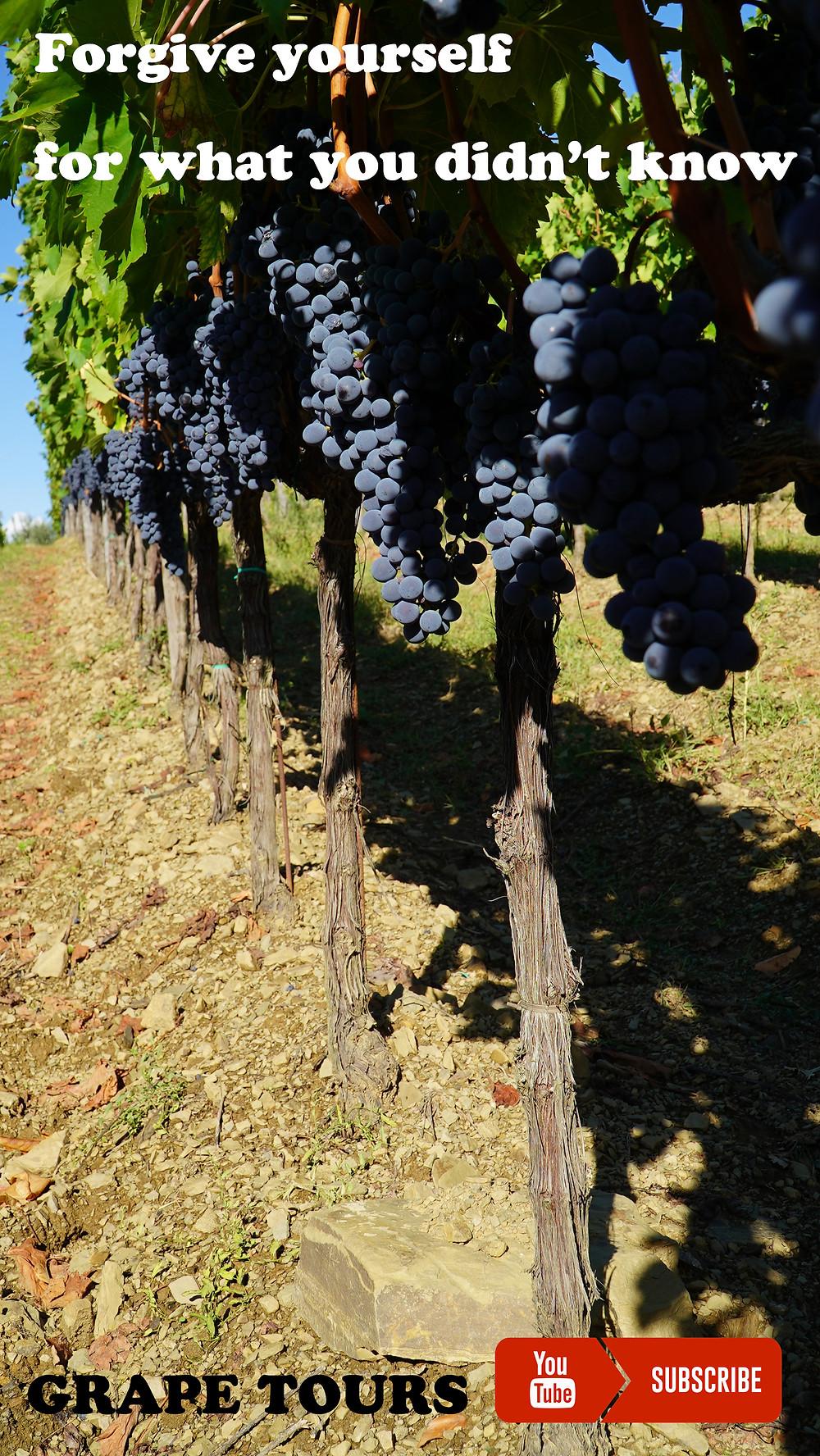Radda in Chianti, Sangiovese vineyard.