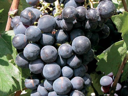 Cépages rouges d'assemblage des Vins de Provence