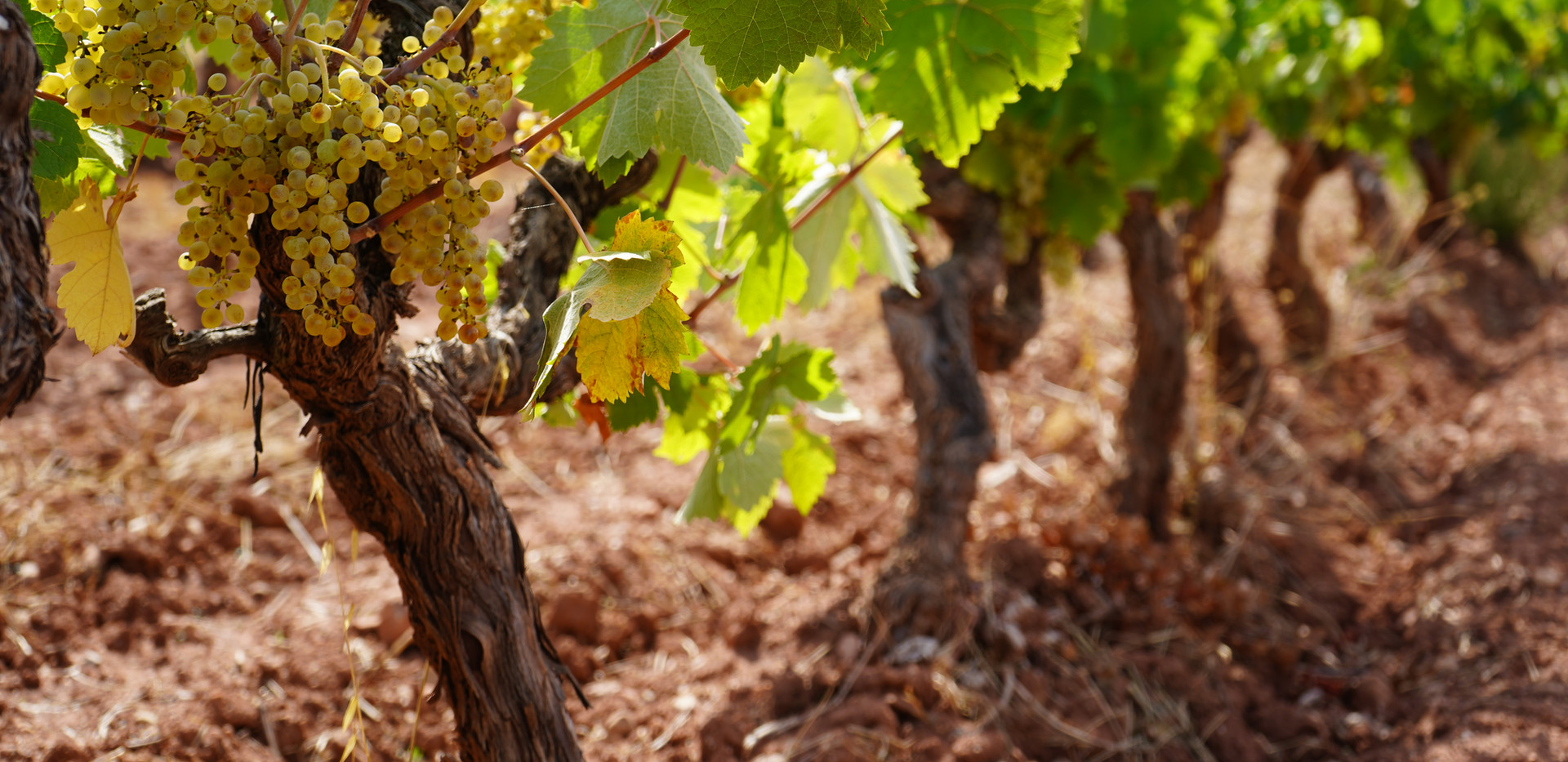 Old grape vines in Provence