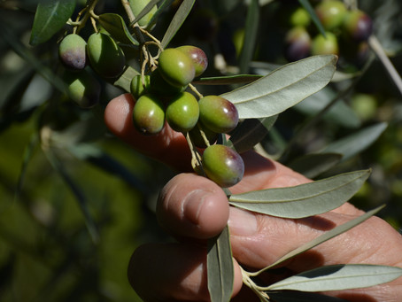 How to choose good olive oil?