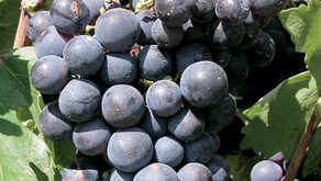 For a wine world of diversity: blend of red Provence grapes