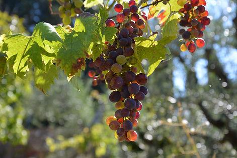 grapes 4.JPG