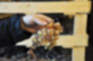 Vin Santo 3. Appassimento copy.JPG