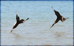 pelicanbrun