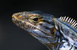iguana6
