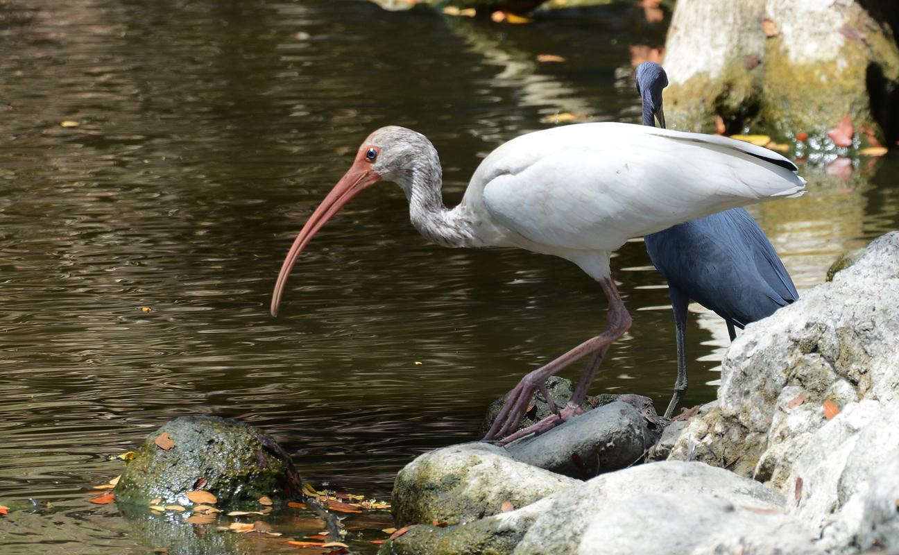 ibisblanc