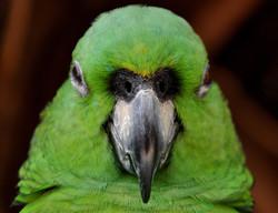perroquetver2t