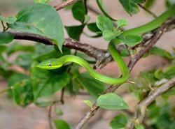 serpentvert2