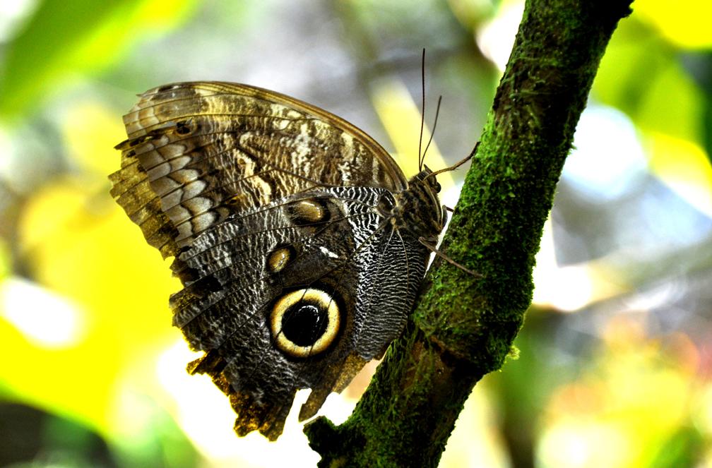 papillontigre