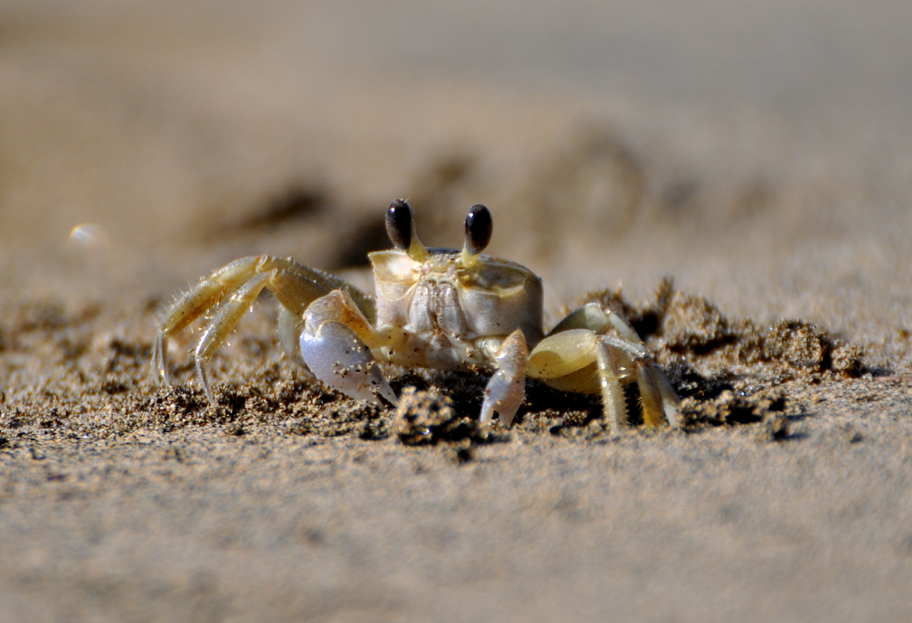 crabe minuscule