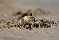 crabe minuscule