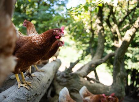 Hühner in der Pubertät
