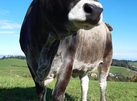 die Kühe sind zurück!