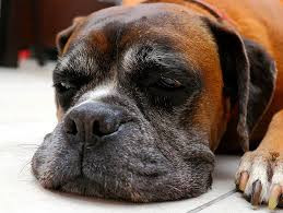 4 Tips for Making Your Senior Boxer's Life More Comfortable