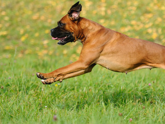 Boxers that Bolt: Tips to Help You Stop Your Dog from Escaping