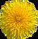 dandelion-flower-2104118_960_720.png