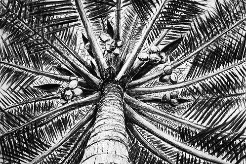 """Nipusi Palm"""