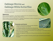 cabbage worm_page-0001.jpg