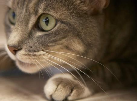 דלקת בדרכי השתן בחתולים