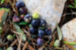 Sparrows in the vineyard, Vinya Son Alegre