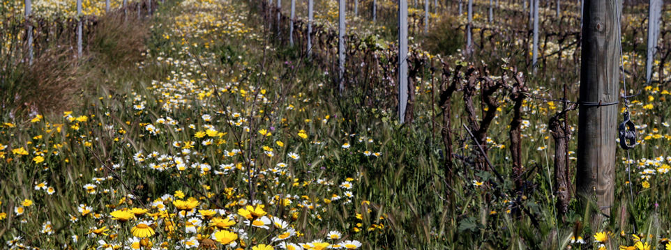 vineyard flowers, vinya son alegre