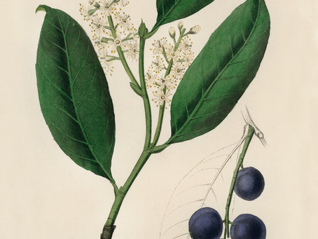 The Life-Enhancing Properties of the Common and Garden Cherry Laurel