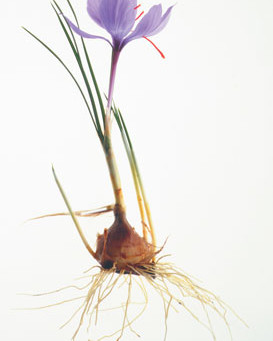 Cushioning the Blow - Release from (Medicinal) Drug Dependence with Crocus Sativa.