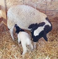 Dorper Ewe and Lamb