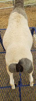 Dorper Club Lamb