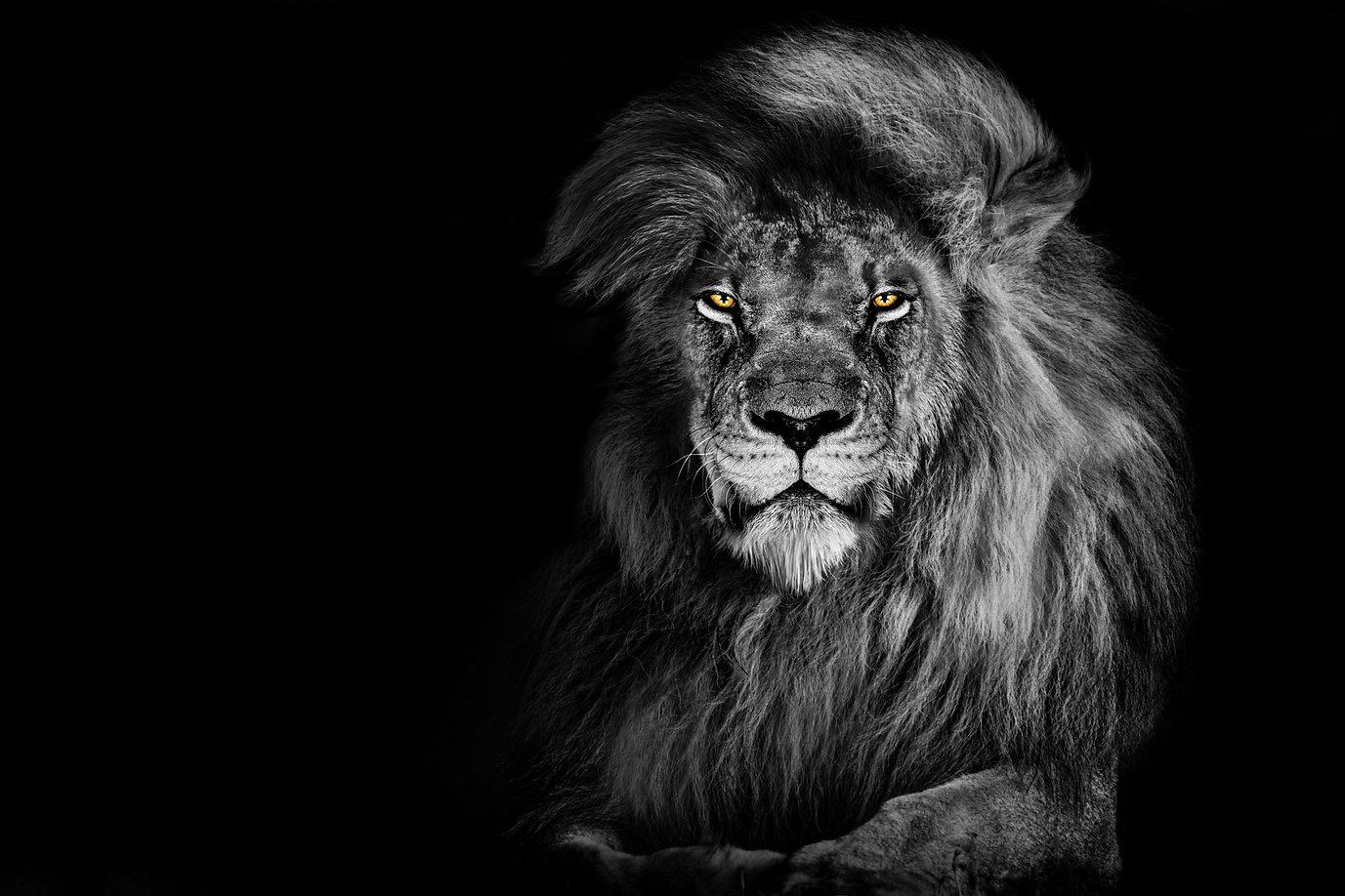 Lion king isolated on black , Portrait Wildlife animal .jpg