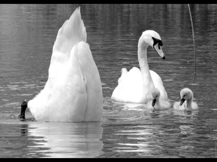 Swan family in water: babies watch the father with its head in water and butt in the air