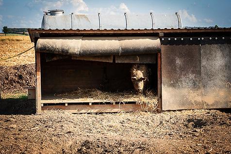Deister Freiland Wollschwein in Unterschlupf