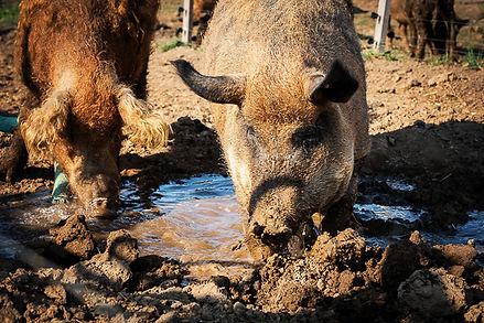 Deister Freiland Wollschwein