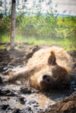 Deister Freiland Wollschwein ist sich am suhlen