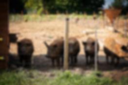 Haltung Deister Freiland Wollschwein