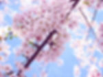 cherry_blossoms_washington_dc.jpg