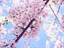 cherry_blossoms_washington_dc.jpg