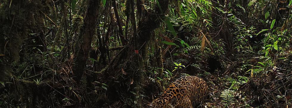Beautiful Jaguar
