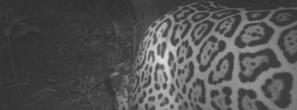 Adult Jaguar at night