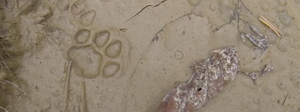 Adult Jaguar Footprint