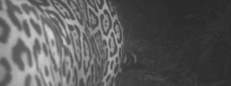 Jaguar licking the camera