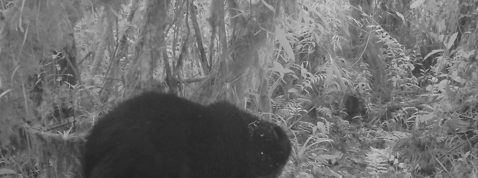Big male Andean Bear