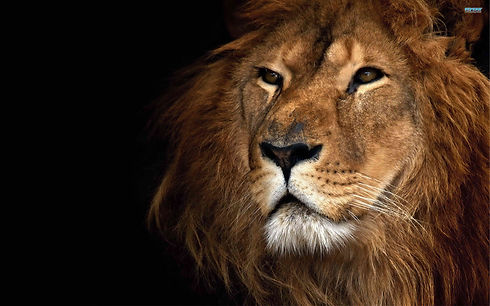 lion-wallpaper-for-android-avzy.jpg