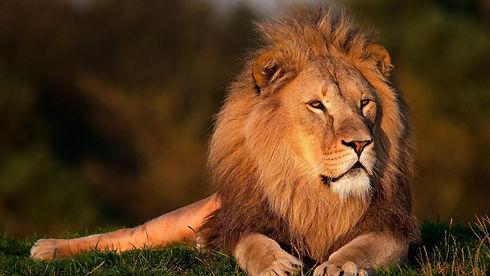 lion-wallpaper-picture-zqu1.jpg