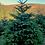 Thumbnail: Nordmann fir