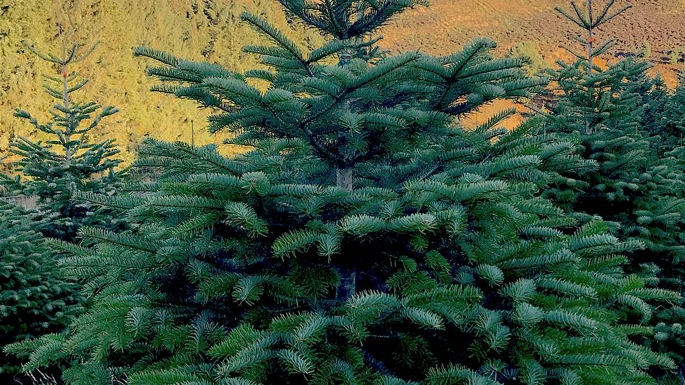 Nordmann fir