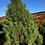 Thumbnail: Lodgepole pine